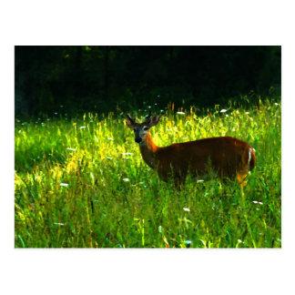 Deer in the morning light postcard