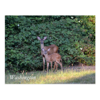 Deer in Washington Postcard