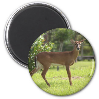 Deer of the Everglades 6 Cm Round Magnet