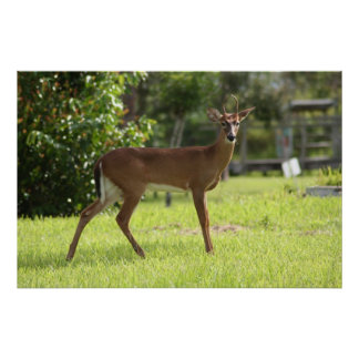 Deer of the Everglades Posters