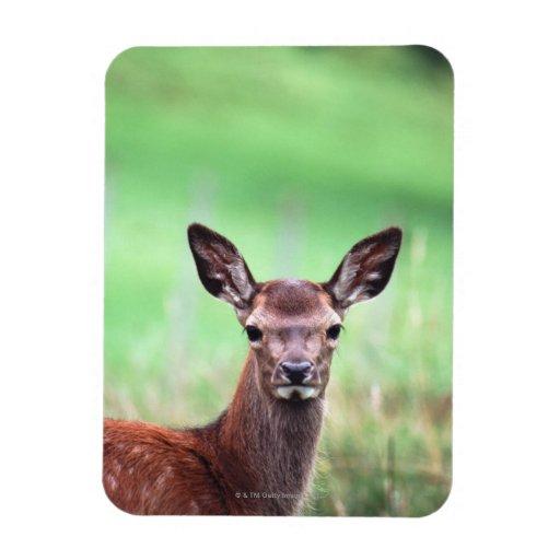 deer rectangular magnet