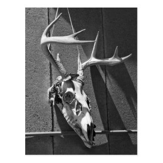 Deer Skull and Antlers in Black and White Postcard