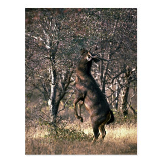 Deer standing to browse postcard