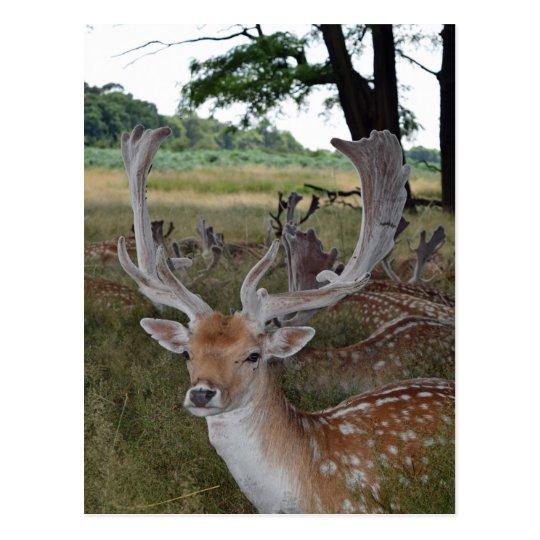 Deer up close postcard