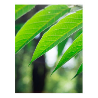 Defocused and blurred branch ailanthus postcard
