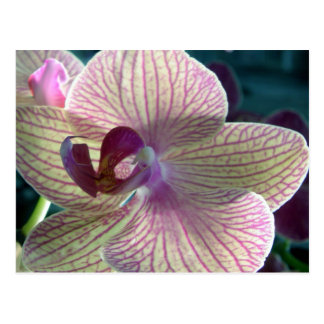 Del-Ray Orchid Postcard