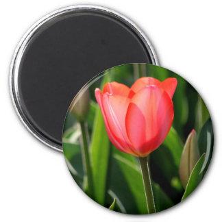 Delicate Back Lit Pink Tulip Fridge Magnet