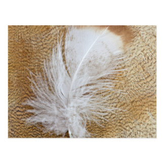 Delicate Goose Feathers Postcard