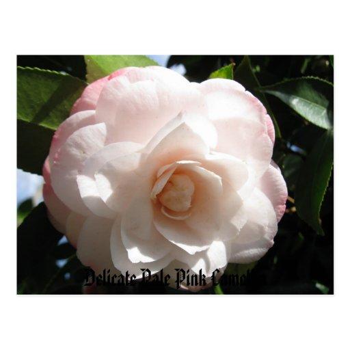 Delicate Pale Pink Camellia Postcards