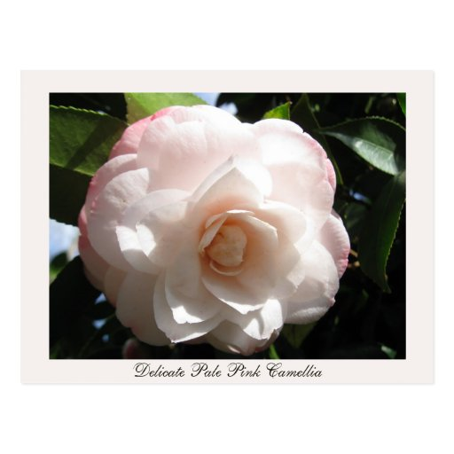 Delicate Pale Pink Camellia Post Cards