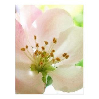 Delicate Pink Apple Blossom Postcards