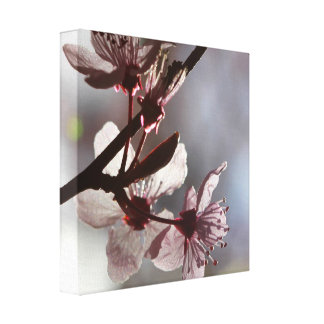 Delicate Pink Cherry Blossom Stretched Canvas Print