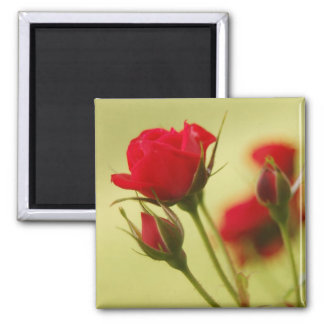 Delicate Red Rose Square Magnet