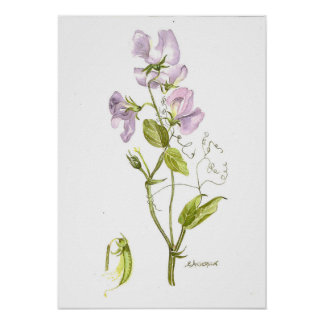 Delicate violet color sweet pea poster