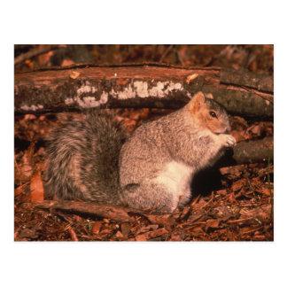 Delmarva Penninsula Fox Squirrel Postcard