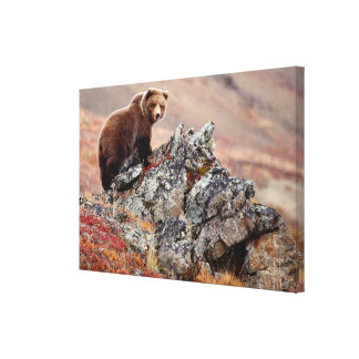 Denali Brown Bear Canvas Print