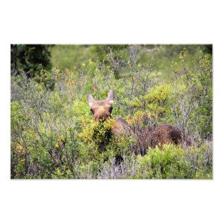 Denali Moose Photo Print