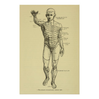 Dermatomes Nervous System Chart Chiropractic