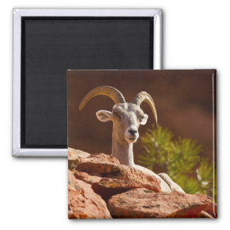 Desert Bighorn sheep (Ovis canadensis nelsoni). Square Magnet