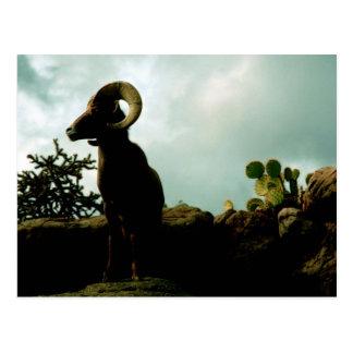 Desert Bighorn Sheep Postcard