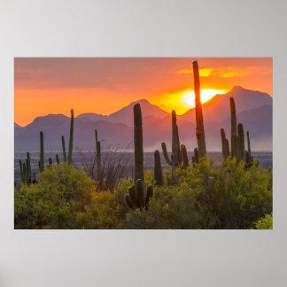 Desert cactus sunset, Arizona Poster
