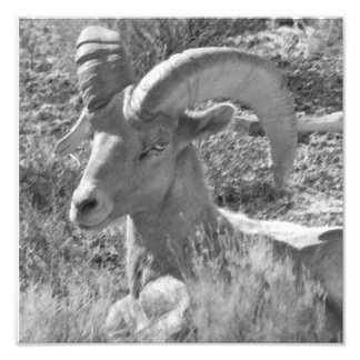 Desert Mountain Bighorn Sheep Photo Print
