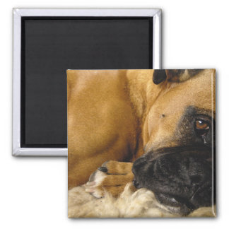 Detail of a Boxer Magnet
