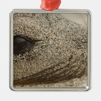 Detail of a Galapagos sealion Zalophus Silver-Colored Square Decoration