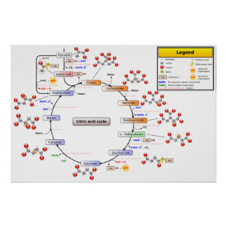 Detailed Diagram of the Citric Acid Cycle Poster