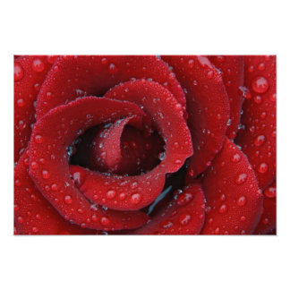 Dew covered red rose decorating grave site in poster