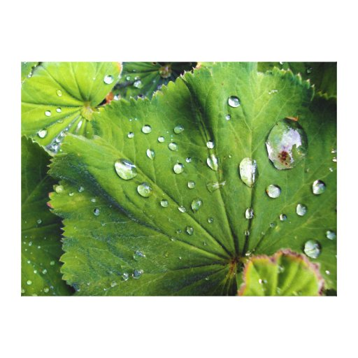 Dew Drops On A Leaf Gallery Wrapped Canvas