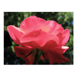 Dew Kissed Rose Postcard