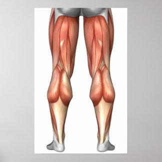 Diagram Illustrating Leg Muscle Groups Poster