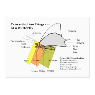 Diagram of a Common Butterfly Anatomy Lepidoptera Stretched Canvas Print