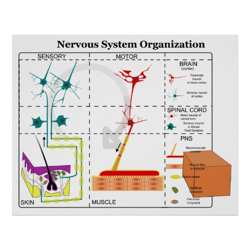 Diagram Of Basic Nervous System Functions Poster
