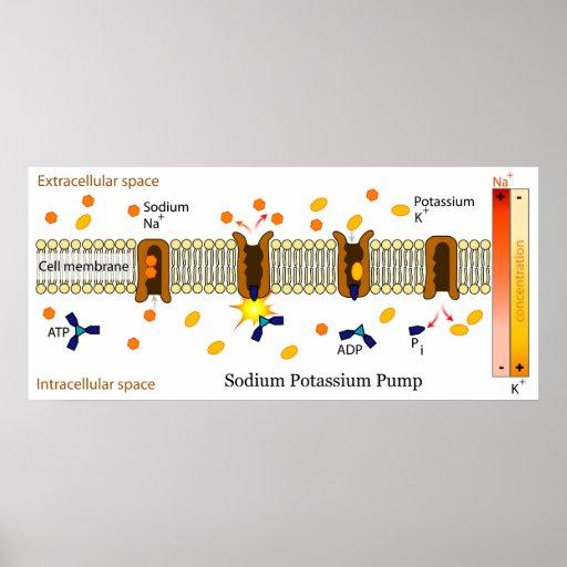 Diagram Of The Biological Sodium Potassium Pump Poster