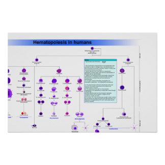Diagram of the Haematopoiesis Stem Cells in Humans Poster