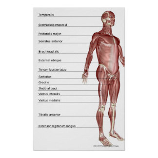 Diagram of the muscular system posters