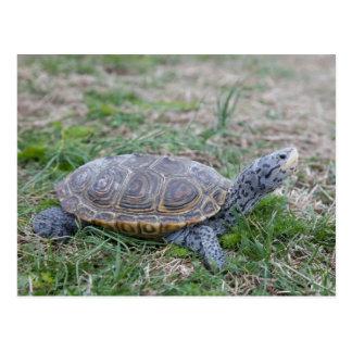 diamondback terrapin turtle postcard