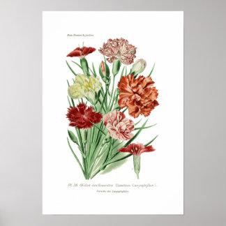 Dianthus caryophyllus (Carnation) Poster