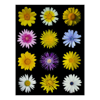 Different flowers of the Asteraceae family. Poster