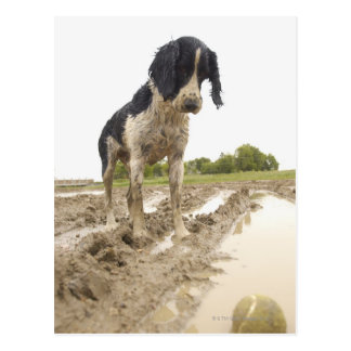 Dirty dog looking at tennis ball in mud postcard
