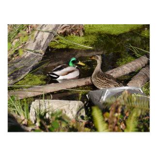 Discovery Park Ducks Postcard