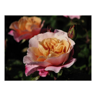 Distant Drums Shrub Rose 143 Poster