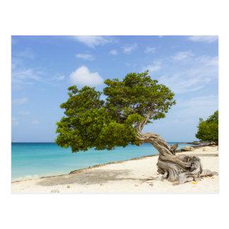 Divi Divi Tree on the Caribbean Island of Aruba Postcard