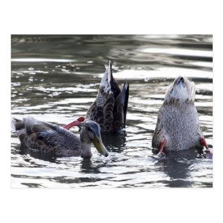 Diving ducks post card