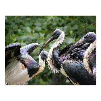 Do You Zoo? Straw-necked Ibis Postcard