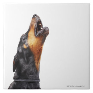 Doberman howling, close-up tile