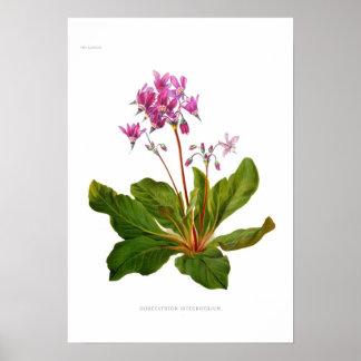 Dodecatheon integrifolium poster