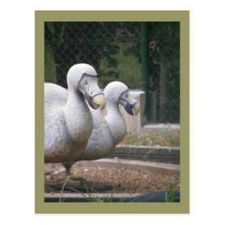 Dodo birds postcard